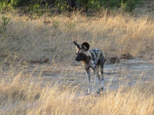 Wild Dogs are elusive but you can get lucky.