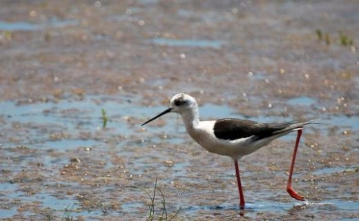 Black-winged stilt in Wilpattu National Park