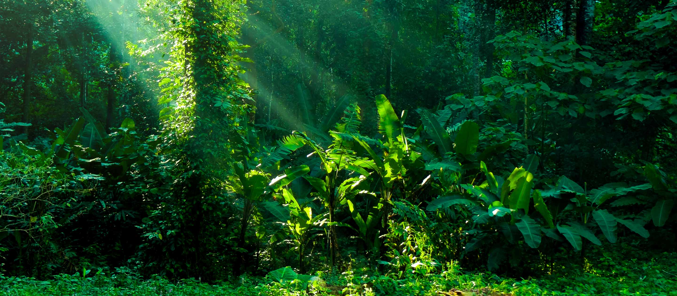Greenery of the Amazon rainforest