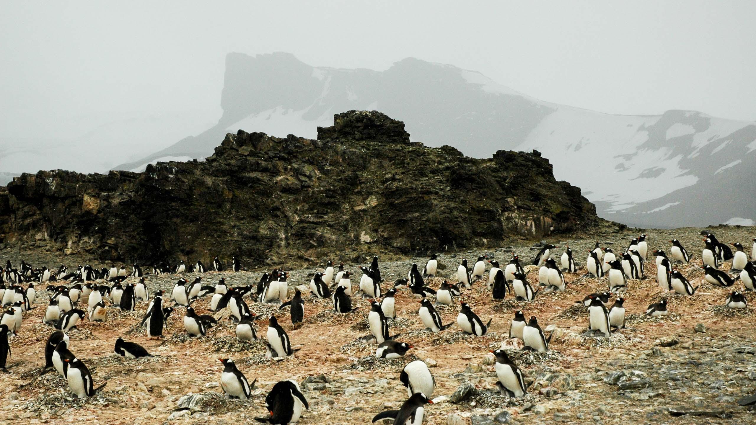 Large group of penguins walks across Antarctica landscape