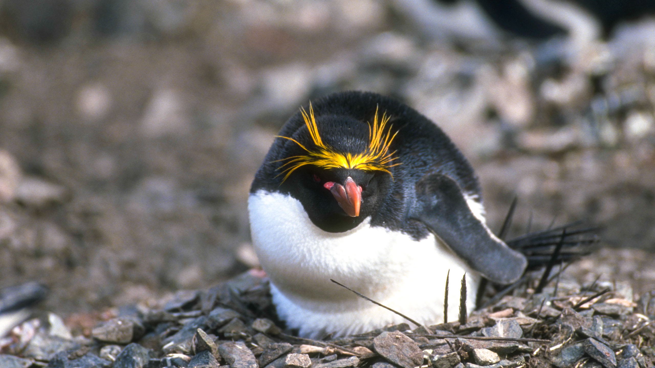 Close up of penguin nesting