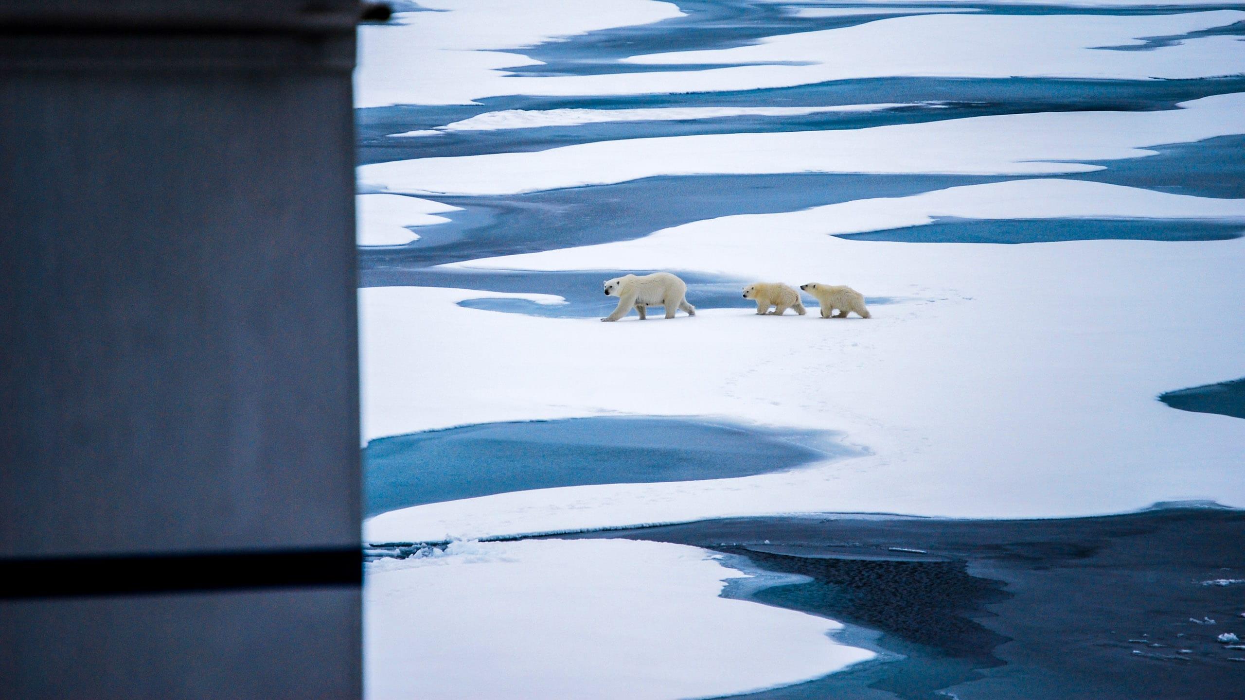 Polar bears cross arctic ice