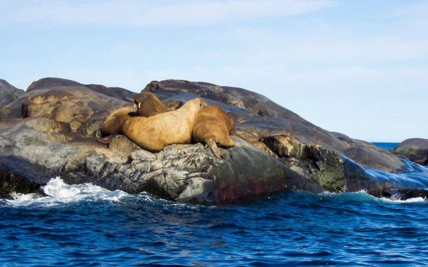 Walruses sit on rock in the arctic