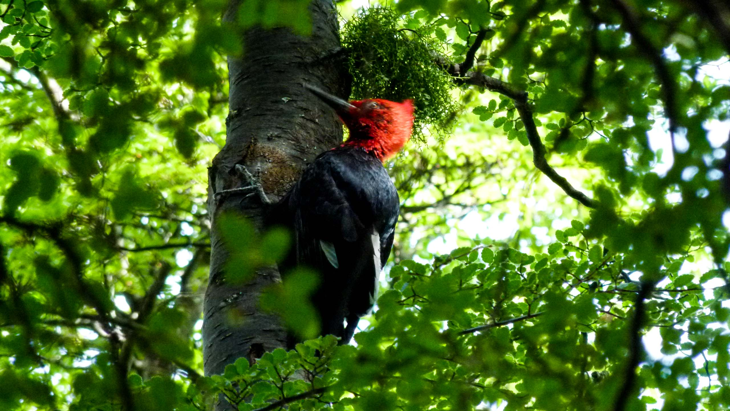 Woodpecker sits in tree in Argentina