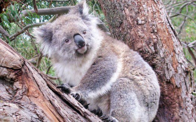 Koala sits in Australia tree