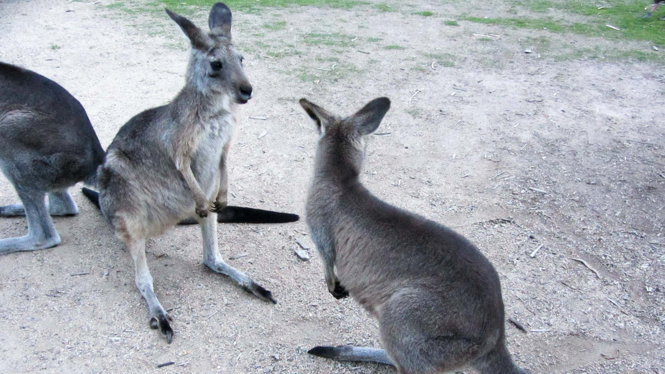 Two kangaroos face each other in Australia