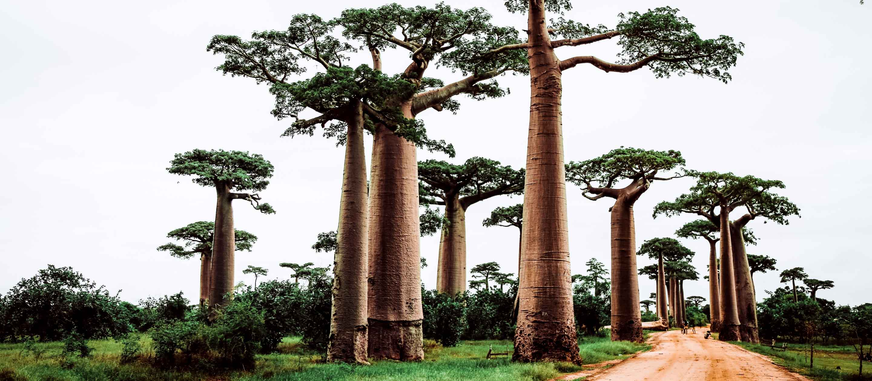 Road through baobab trees in Madagascar