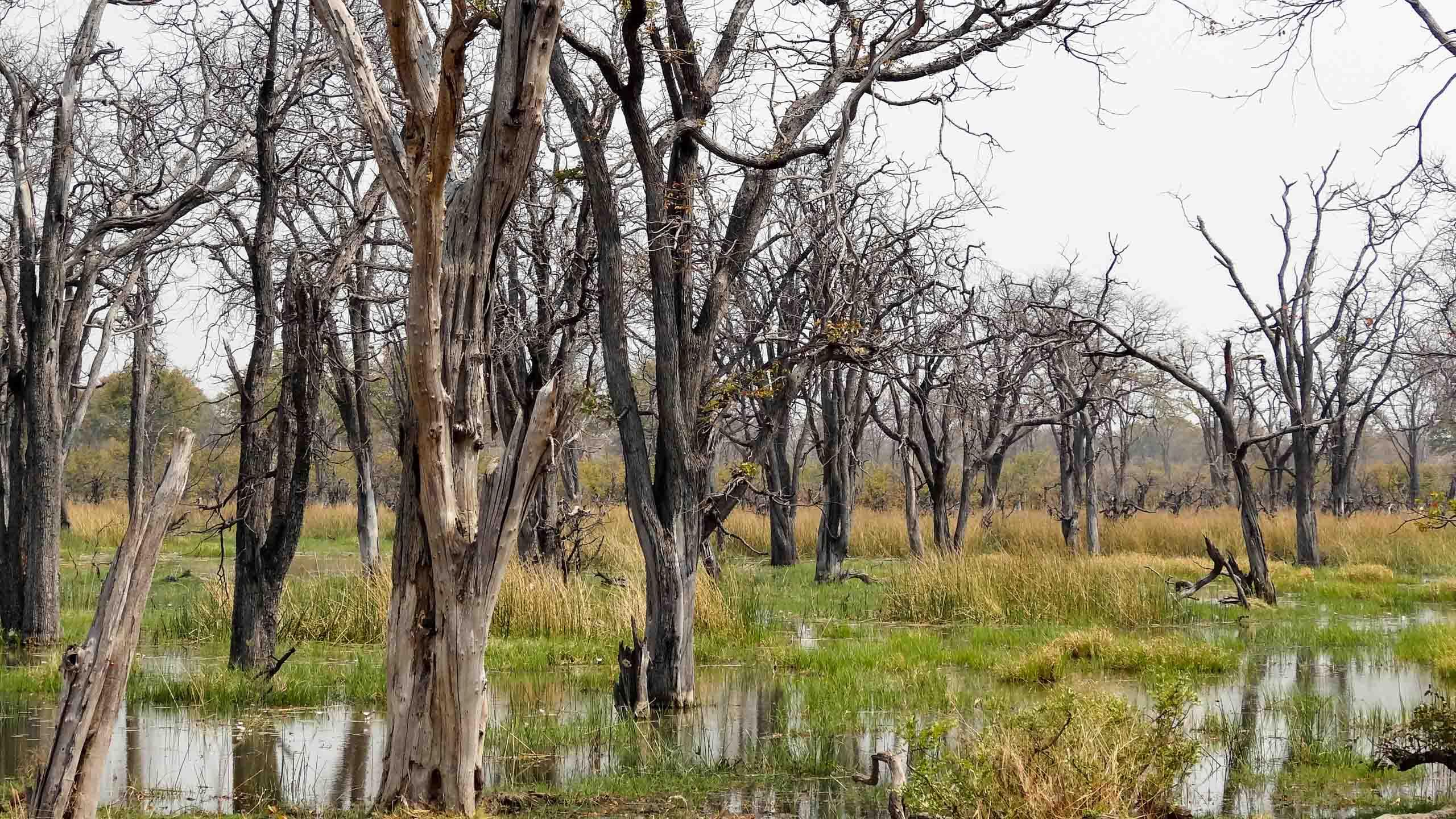 Botswana trees in delta