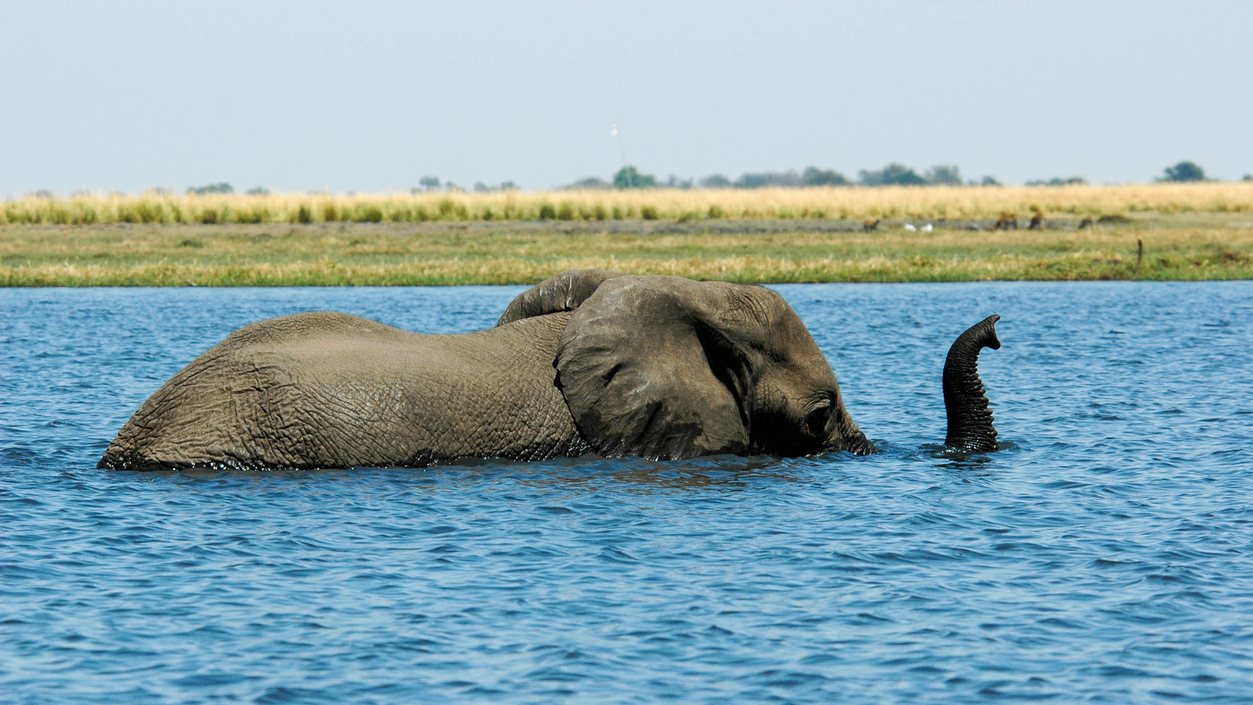 Botswana elephant rests half-submerged in water