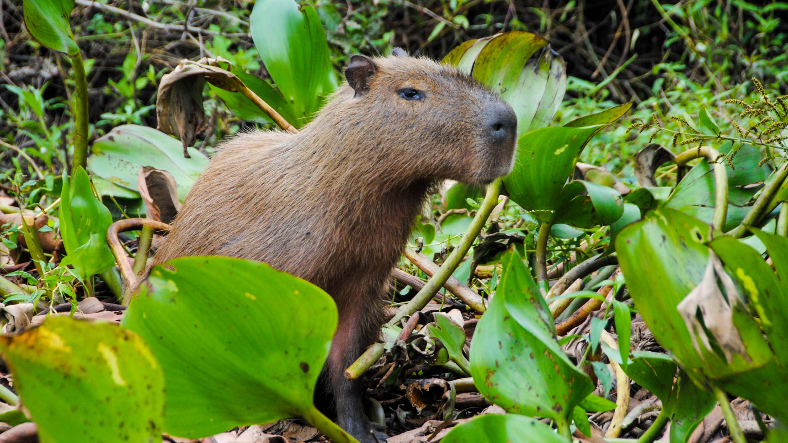 Capybara stands in leaves in Brazil