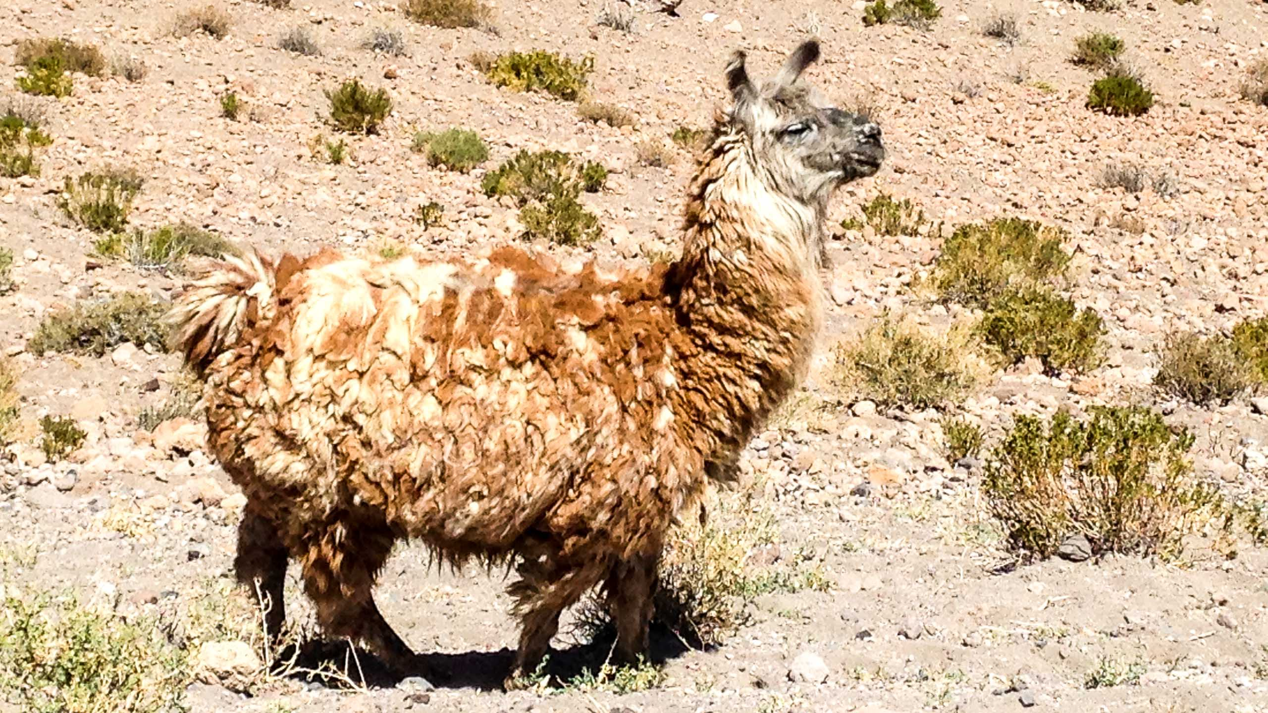 Fluffy llama in the Atacama Desert of Chile