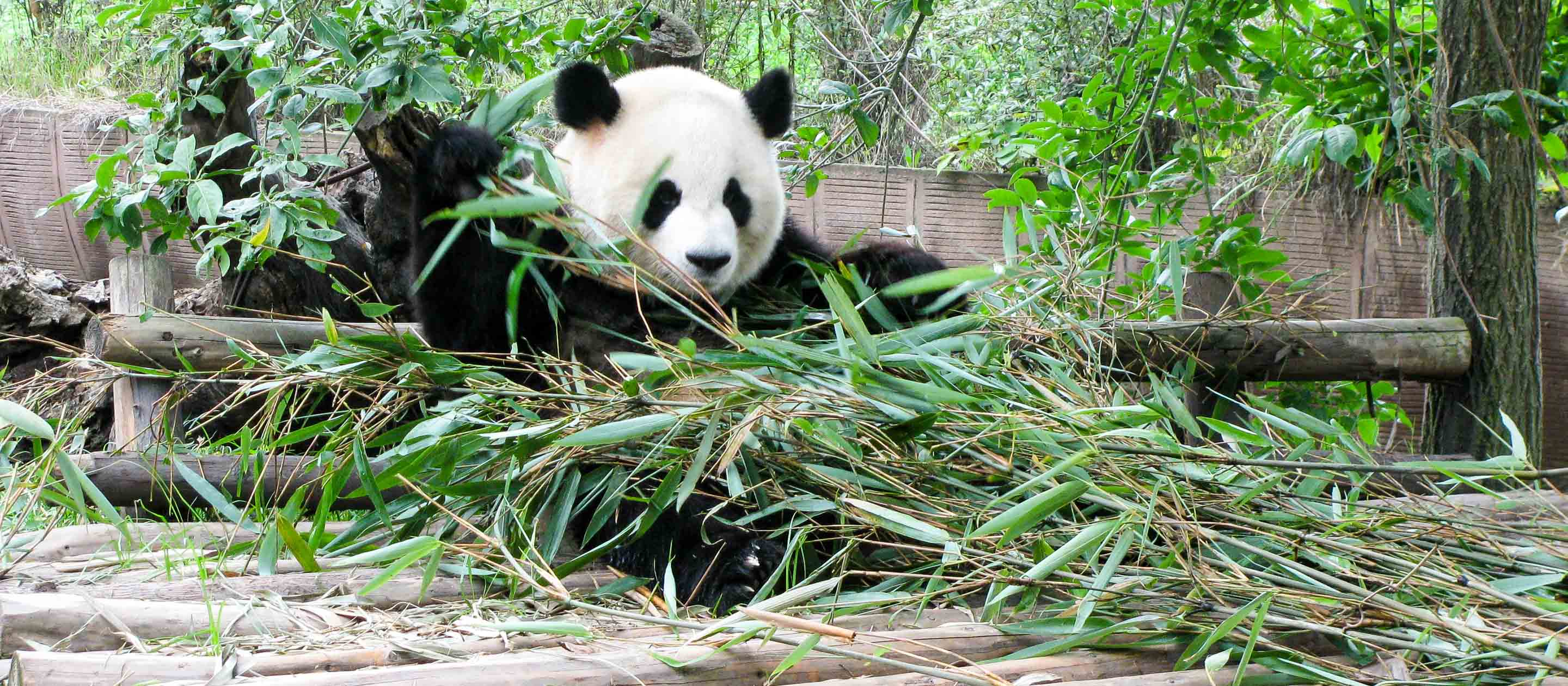 Panda plays in grass in China