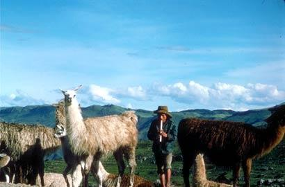 You won't want for contact with llamas in the Andes of Peru.