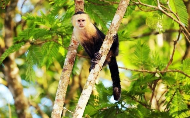 White-headed Capuchin (Cebus capucinus) is climbing in a tree, Tortuguero National Park, Costa Rica