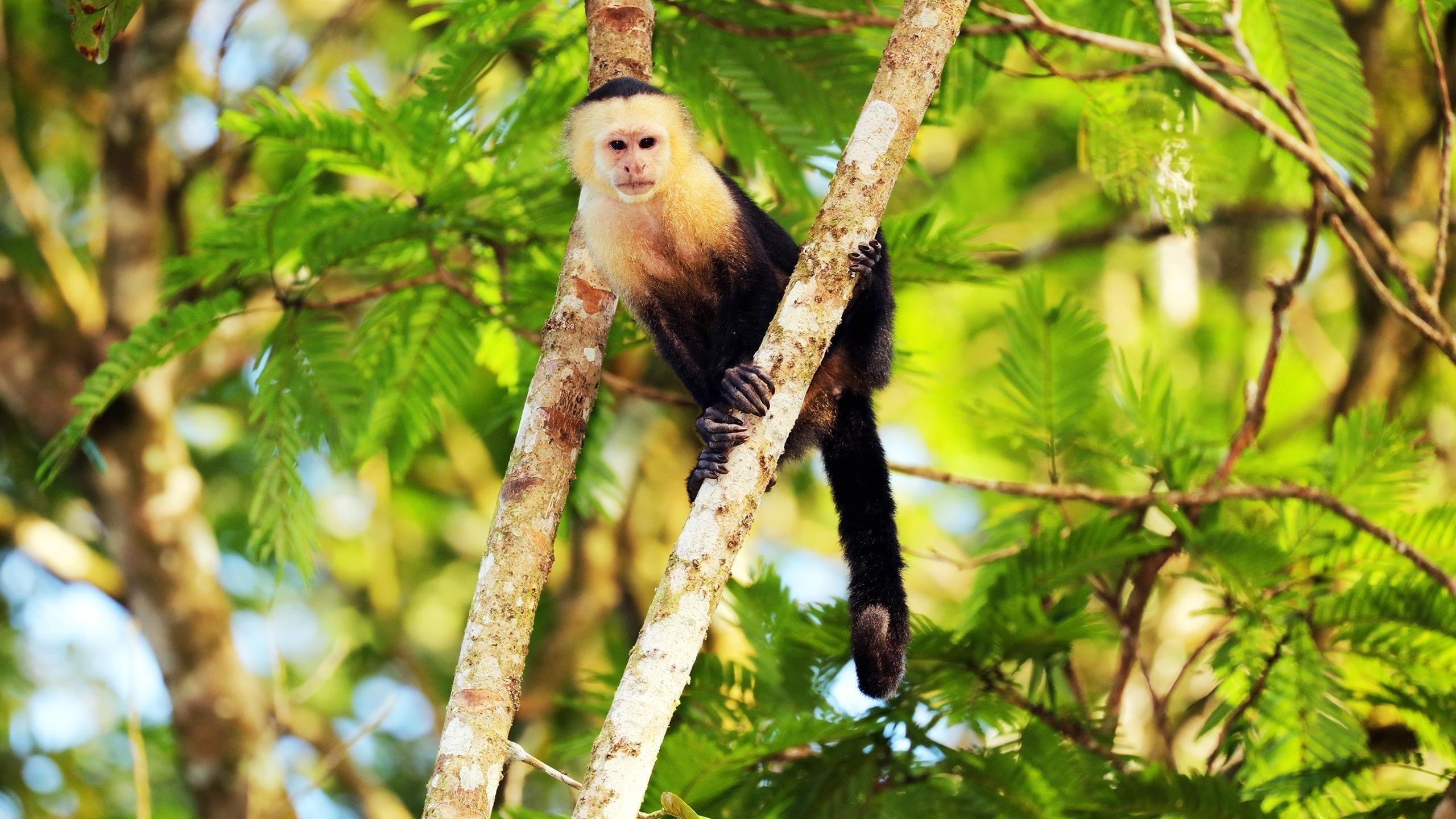 White-headed Capuchin (Cebus capucinus) is climbing in a tree, Tortuguero National Park, Costa Rica