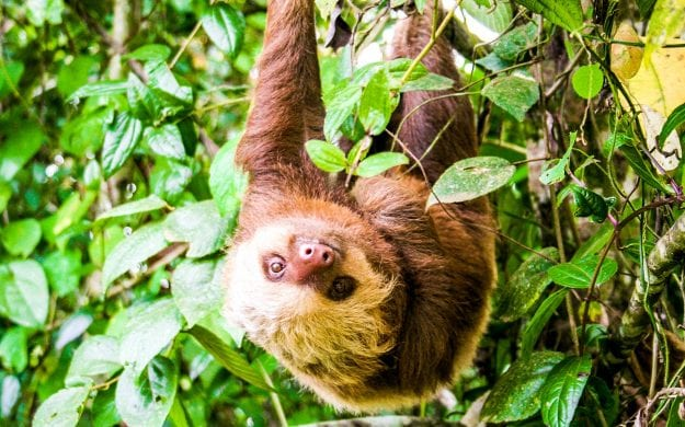 Sloth hangs upside down in Costa Rica forest