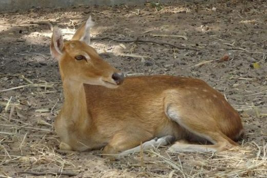 Female sangai deer