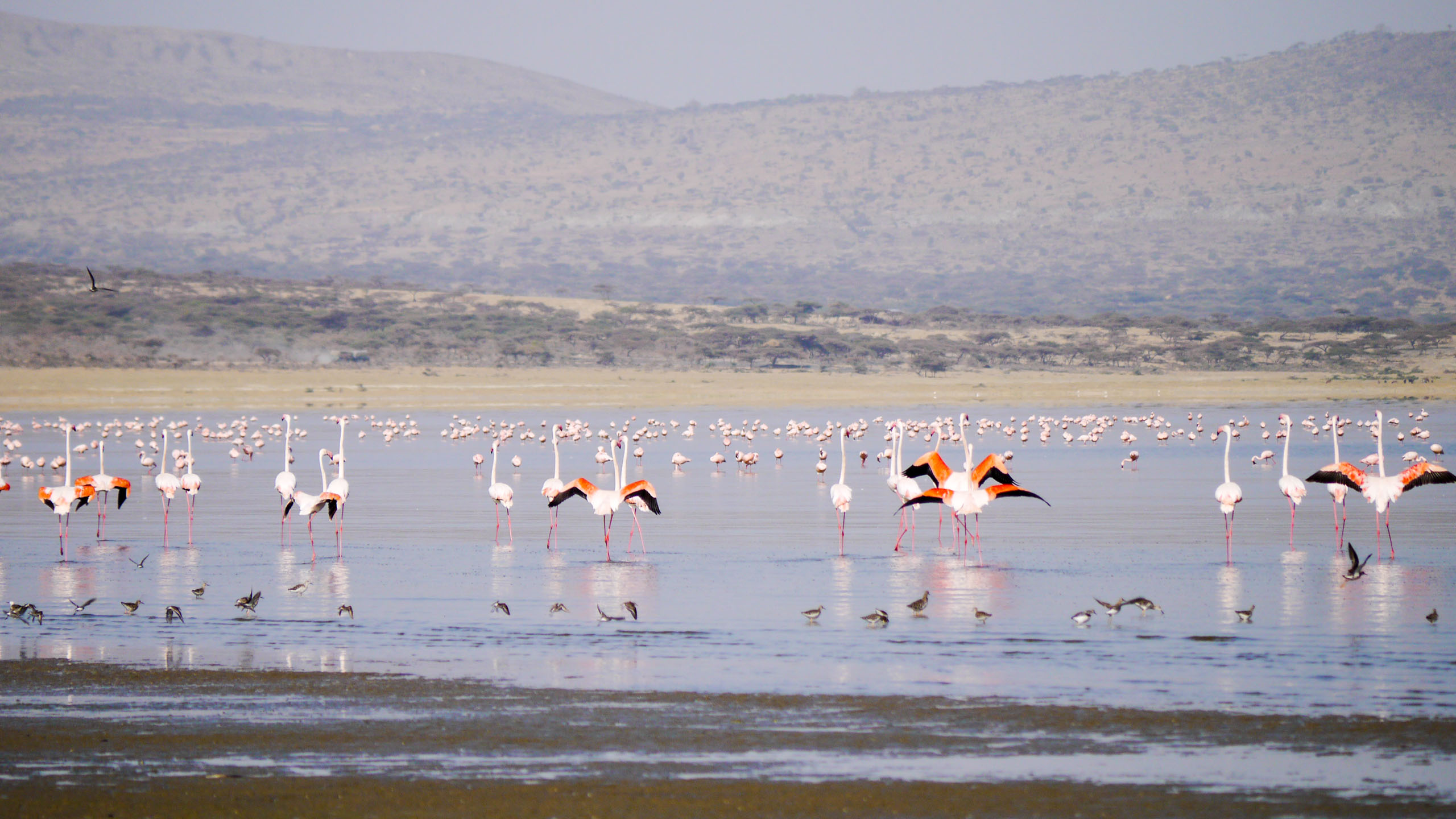 Group of flamingos in Ethiopia wetlands