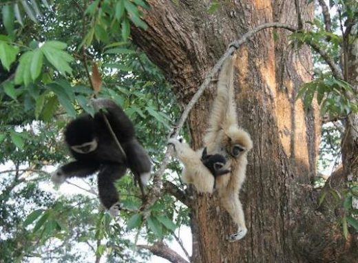 Learn about the gibbons on your zip-line adventure