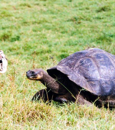 Traveler squats behind tortoise in Galapagos