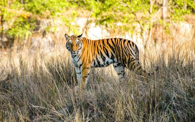 Indian tiger stands in grass