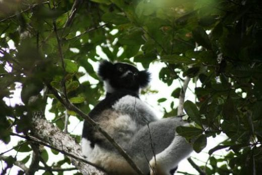 Indri indri.