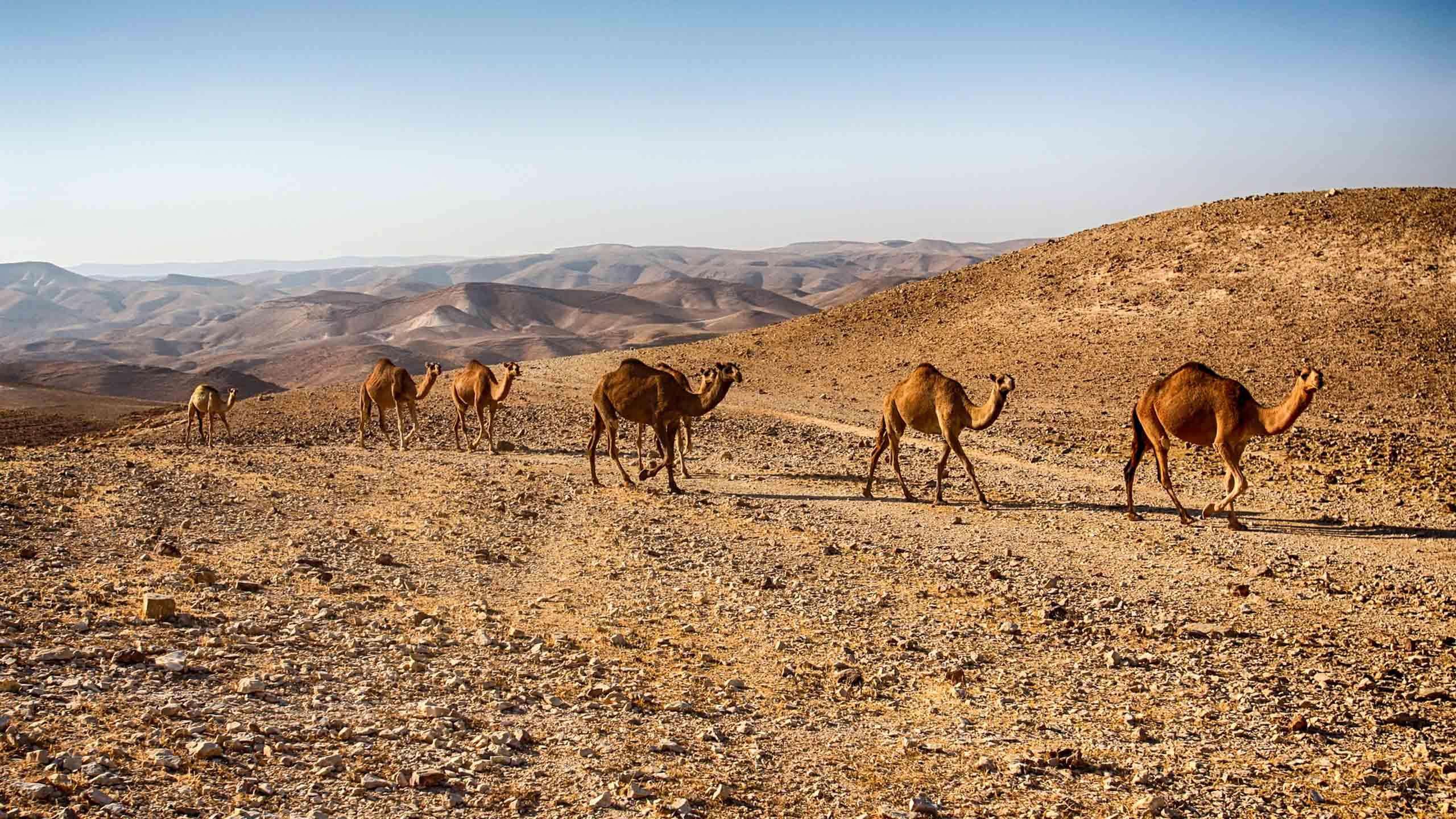 Camels walk in a line in Israel desert