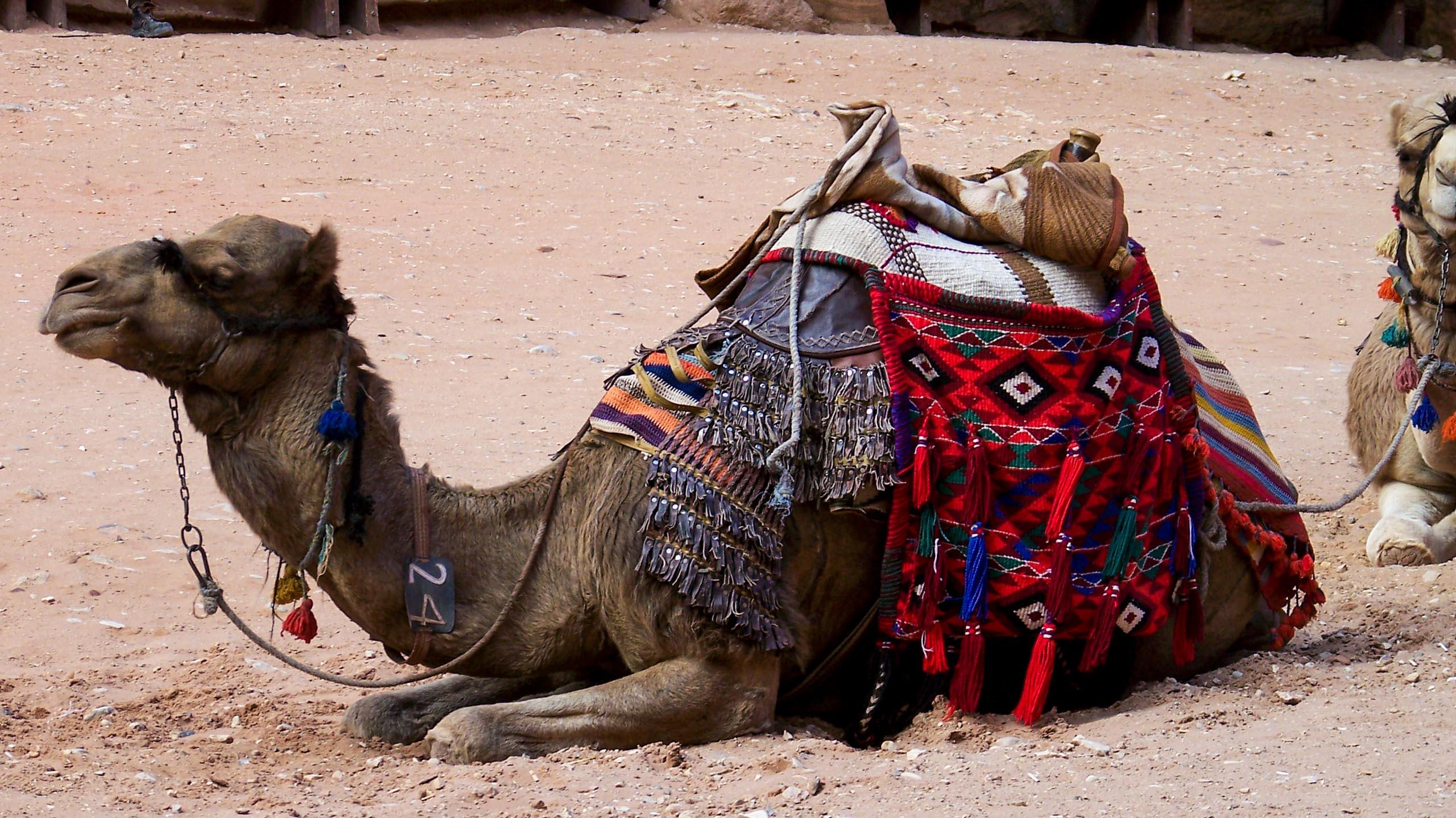Camel resting in Jordan desert