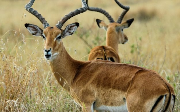Close up of antelope in Kenya