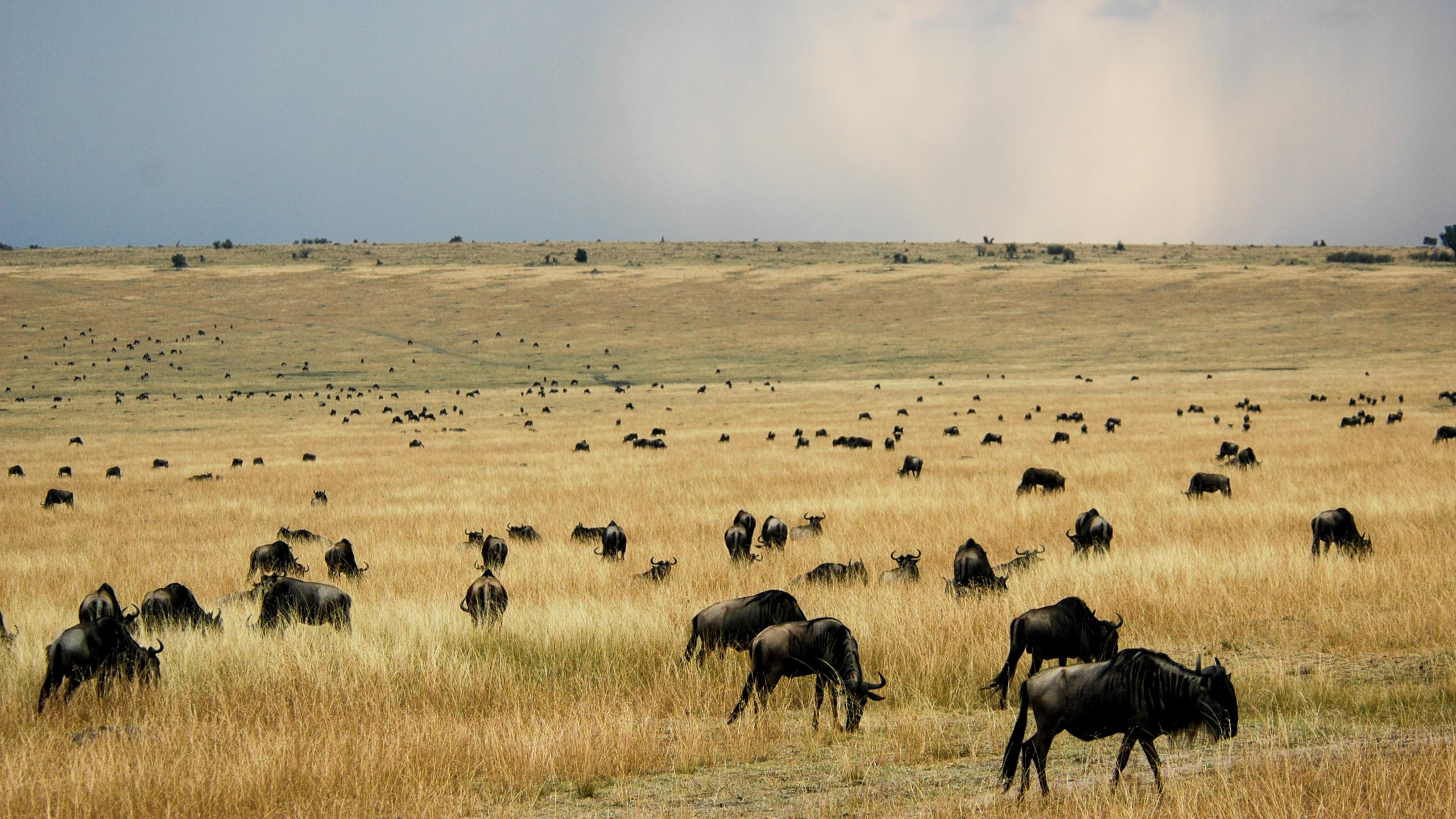 Herd of buffalo in Kenya