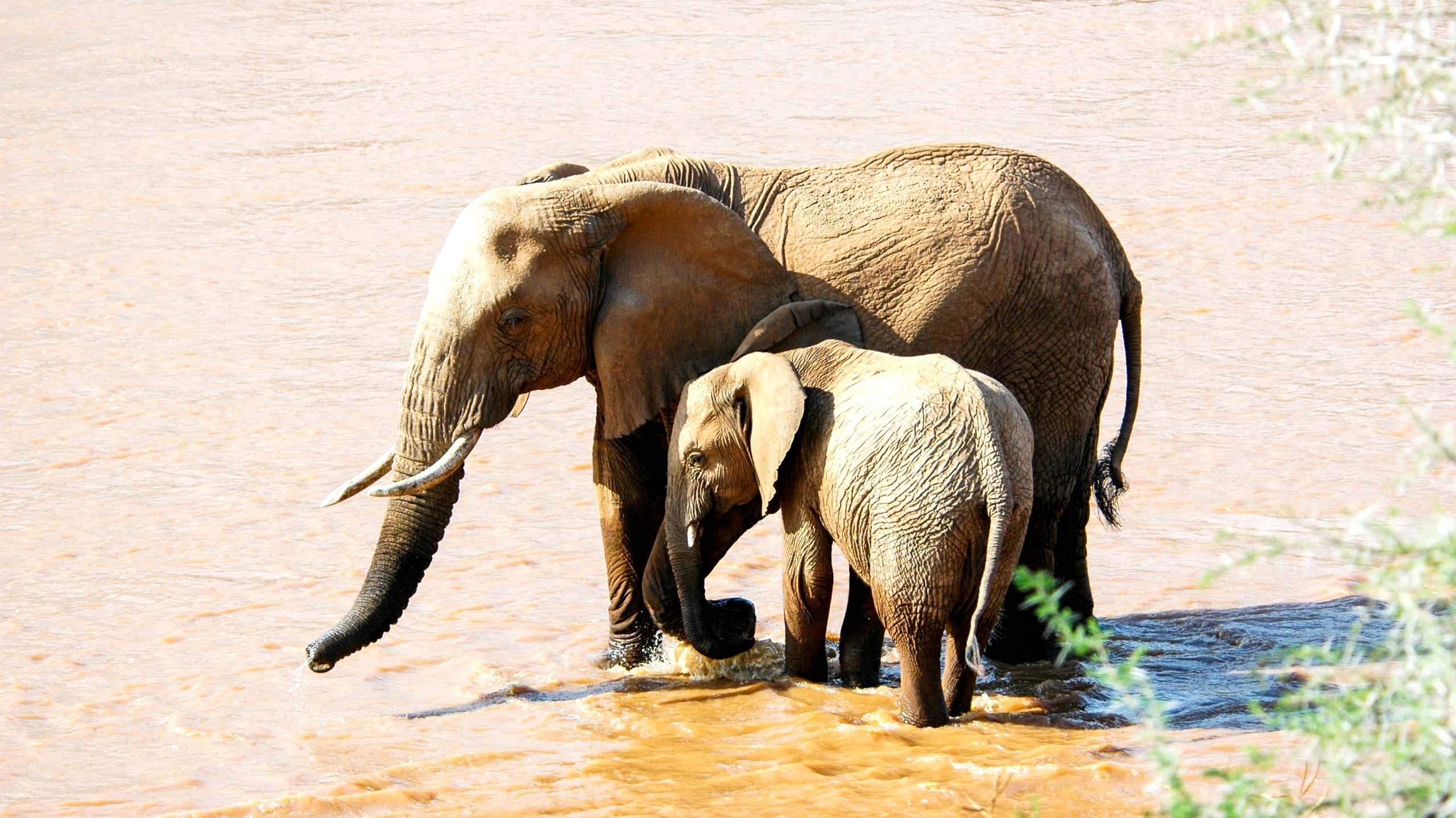African elephants in water in Kenya