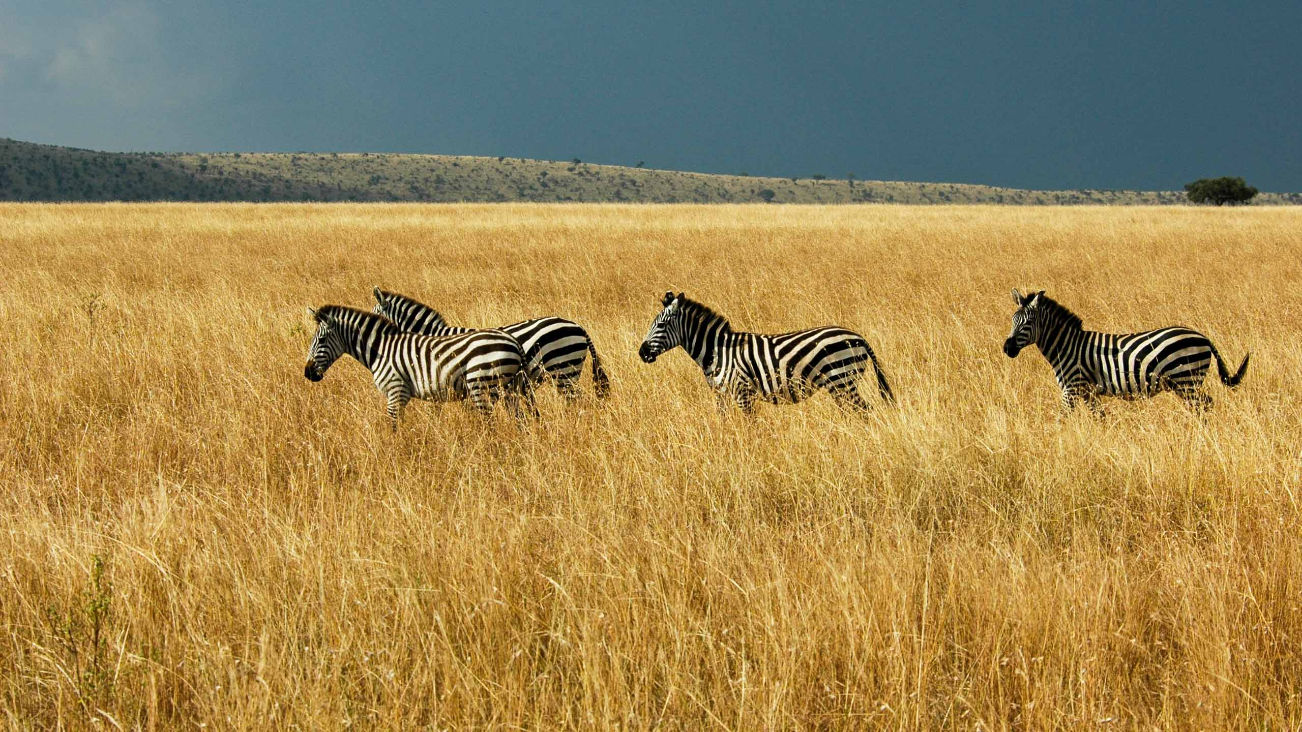 Zebra herd on Kenya fields