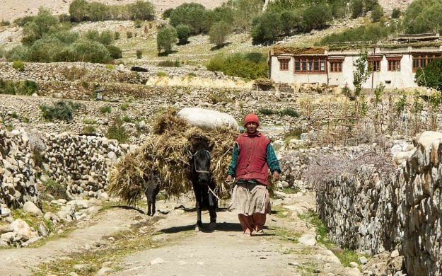 Farmer and mule walk through Ladakh farmlands