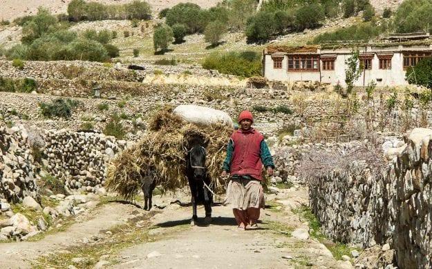 Farmer and mule walk through Ladakh farmlands