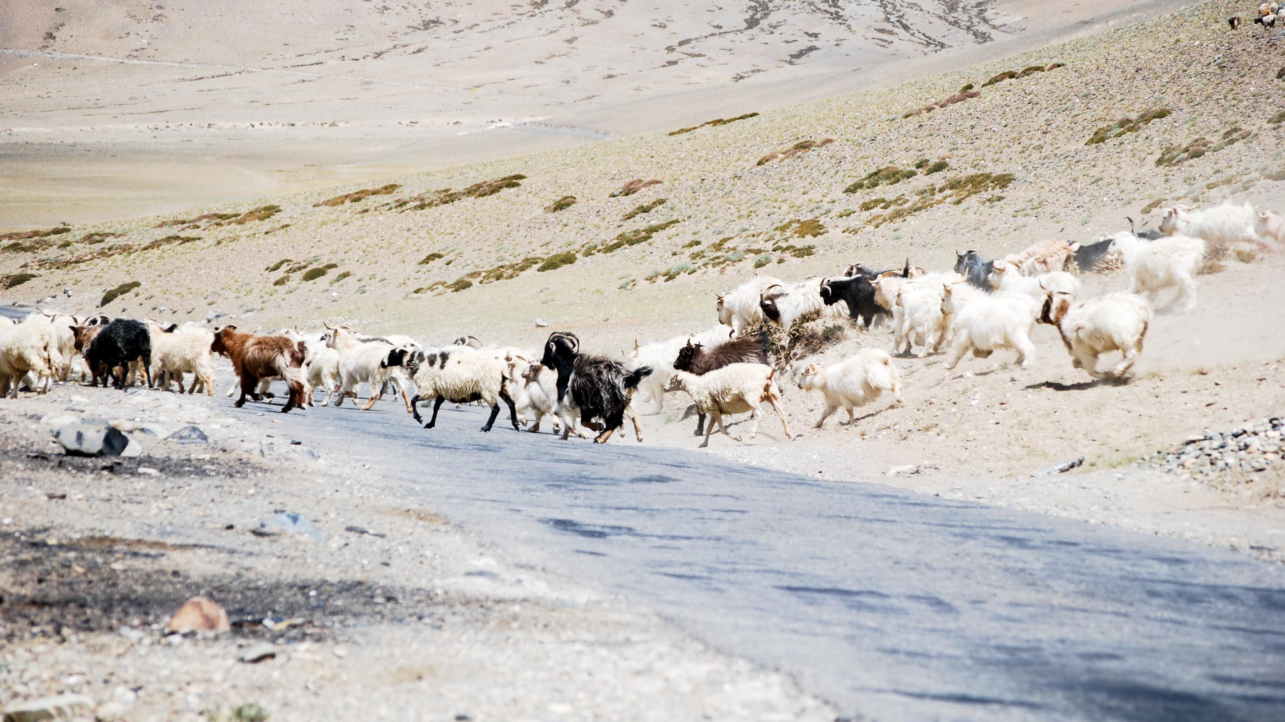 Herd of animals cross the road in Ladakh