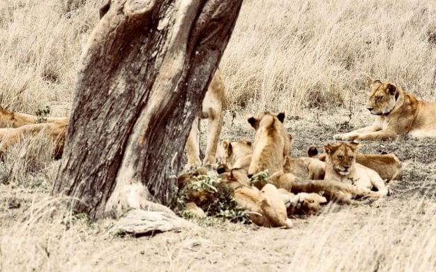 Lions rest under tree in Serengeti National Park