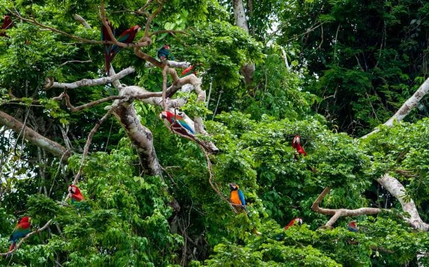 Macaws in a tree in Tambopata National Reserve, Peru