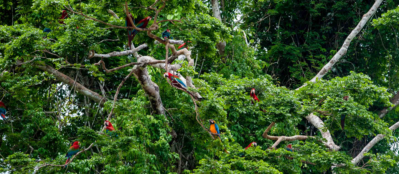 Macaws in a tree in Tambopata National Reserve, Peru
