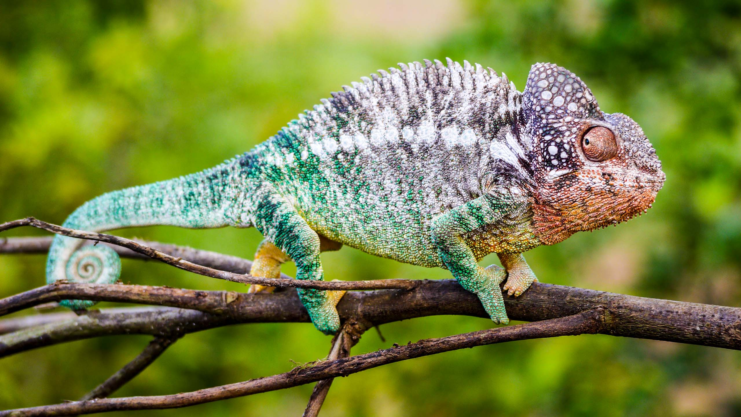 Chameleon sits on branch in Madagascar