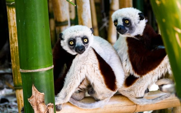 Lemurs sit beneath bamboo in Madagascar