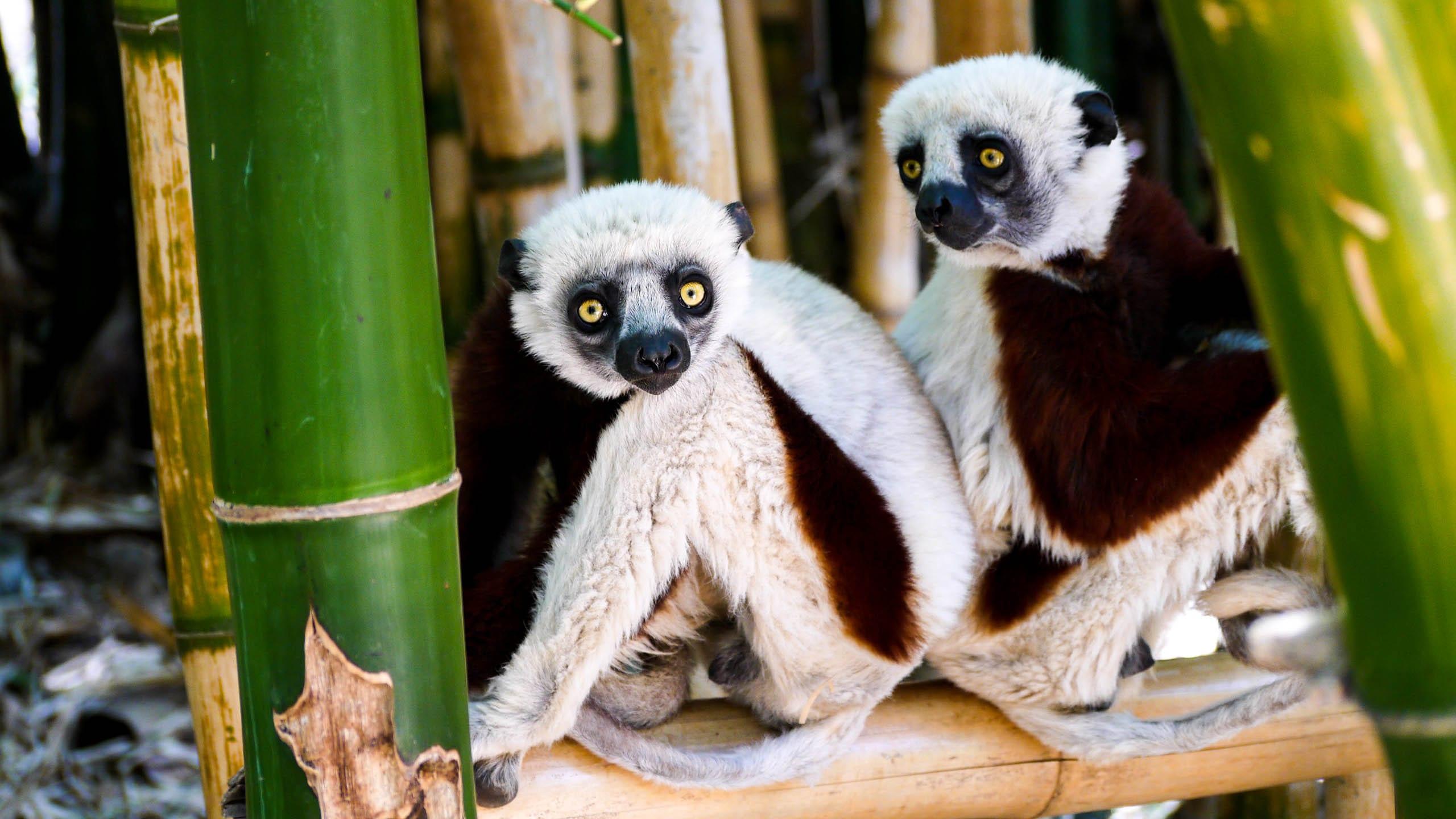 Lemurs sit beneath bamboo in Madagascar
