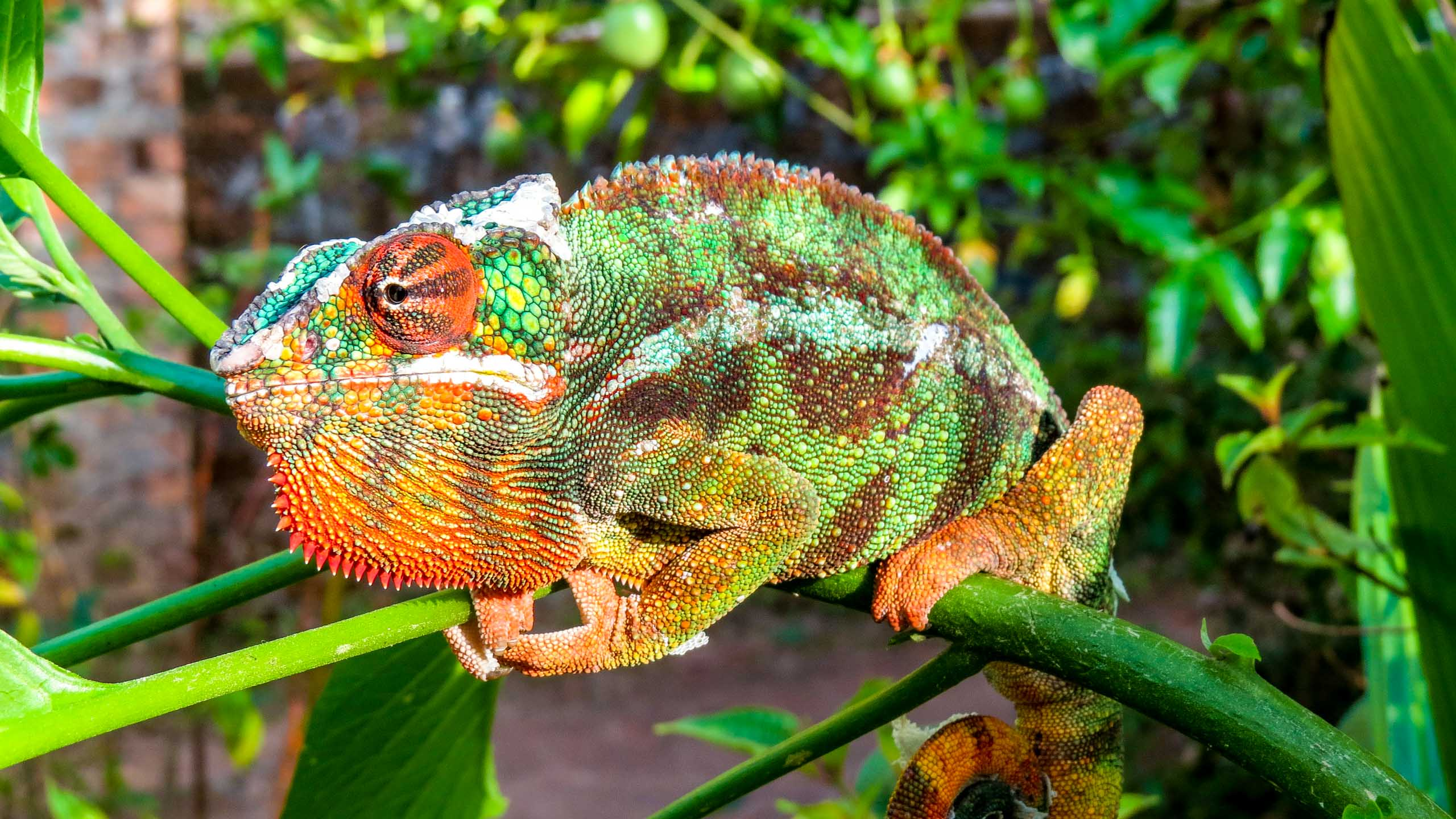 Colorful lizard sits on plant in Madagascar