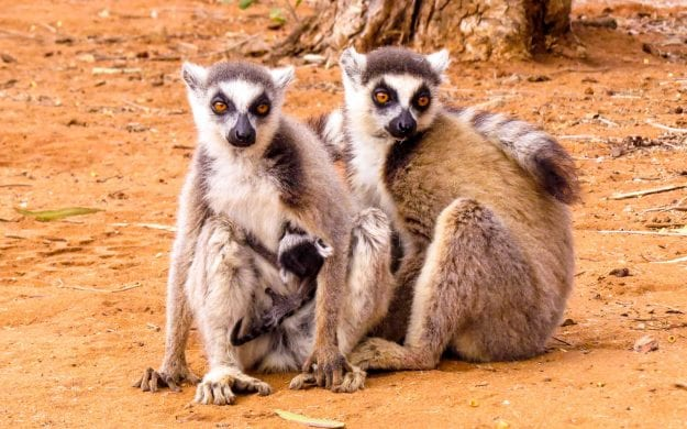 Lemur family in Madagascar