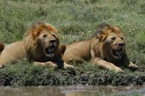 The majestic lions of the Masai Mara