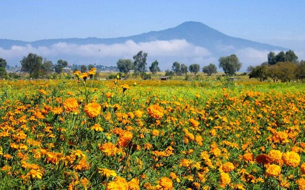 Field of orange flowers in Mexico