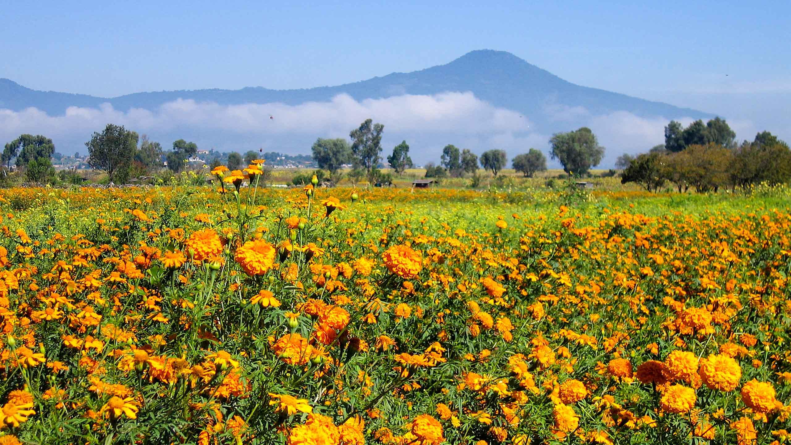 Field of orange flowers in Mexico