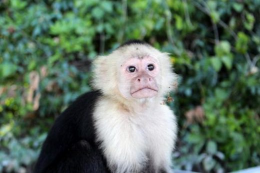 White-faced capuchins are one of four monkeys in Costa Rica