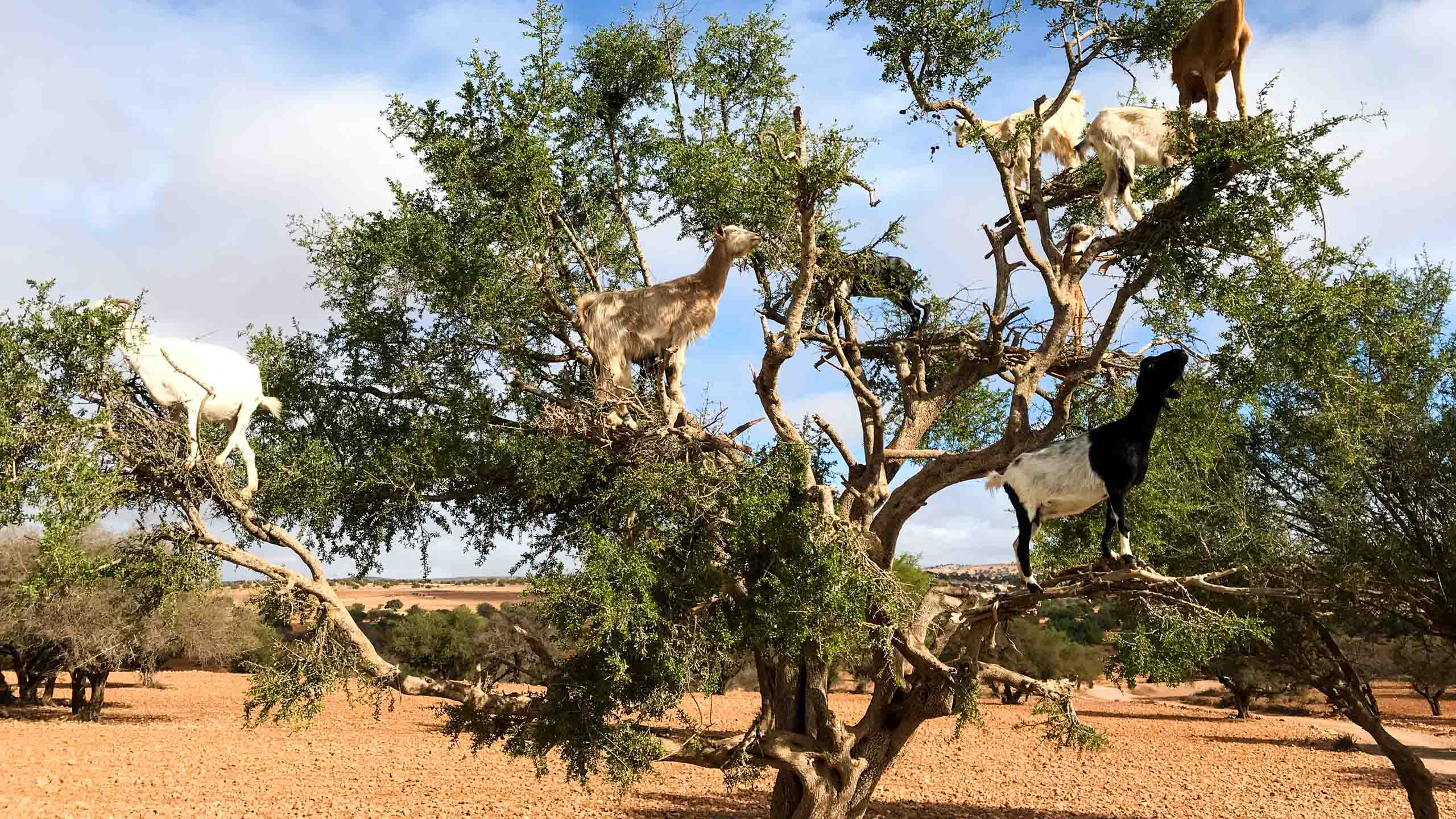 Goats in a tree in the Morocco desert