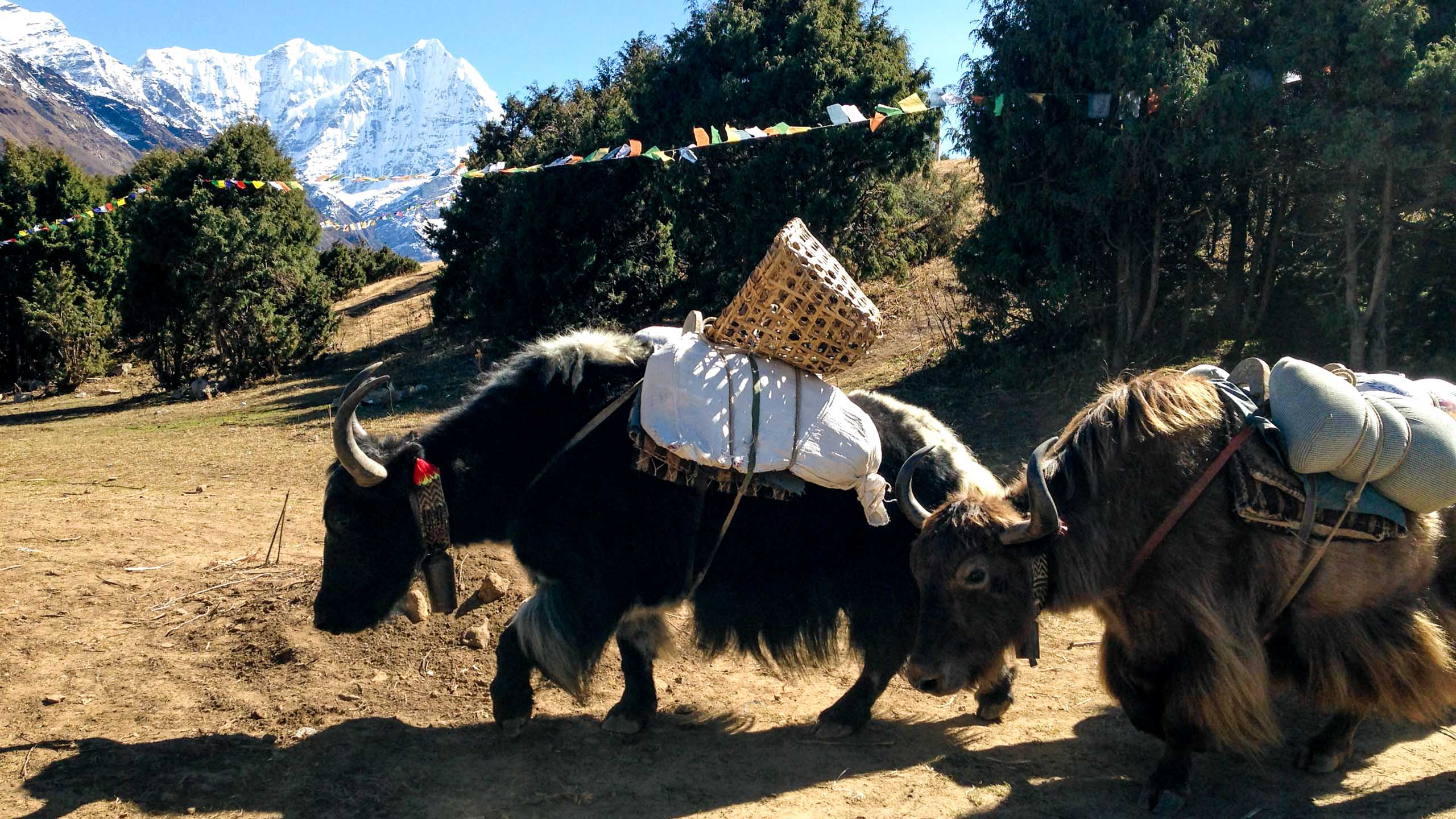 Pack yaks assist on Everest hiking trip