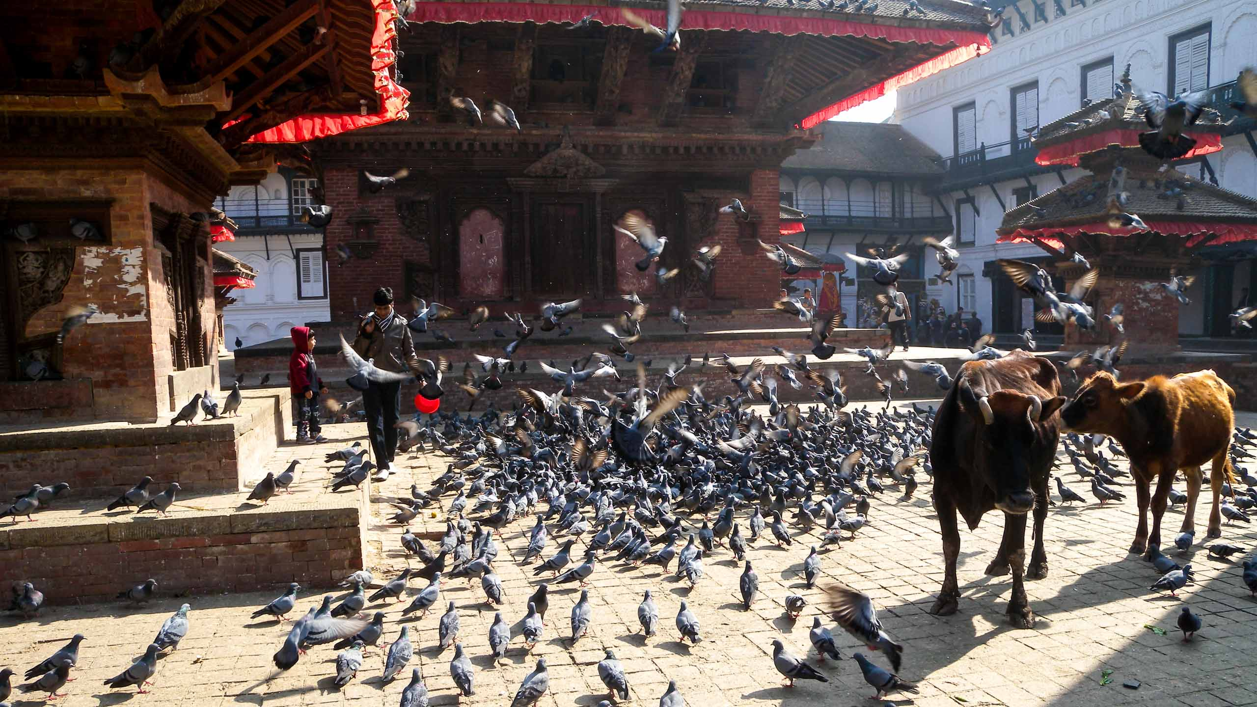 Two cows and flock of birds in Nepal town square